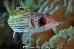 Clearfin squirrelfish (Neoniphon sammar) by Thomas Bannenberg