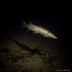 Pike in a Belgian lake by Laurent Miroult