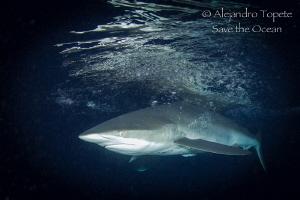 Silky Shark, Isla Darwing, Galápagos Ecuador by Alejandro Topete