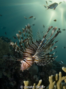 Lionfish at Sunset time by Beate Seiler