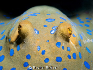 blue-spotted ray by Beate Seiler