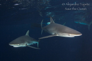 Silky Sharks curiosity, Isla darwing Galápagos by Alejandro Topete