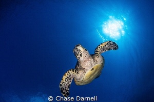 """""""Turtle Bomb"""" A Hawksbill dives into the blue after catc... by Chase Darnell"""