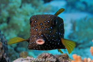 """""""Cute Cube"""" - Boxfish (Ostracion cubicus-Young Adult) by Andre Philip"""