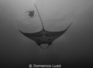 Silent gliding of giant manta by Domenico Luzzi
