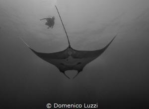 Silent gliding of giant manta by Domenico Luzzi