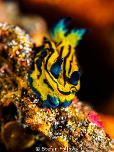 Squishy. Nudibranch - Tambja sp. by Stefan Follows