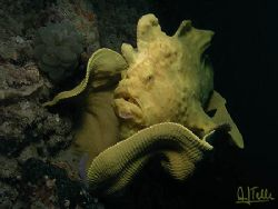 Yellow frog, Cebu, Phillipines. Sea&Sea DX8000G. No Photo... by Arthur Telle Thiemann