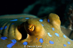 Eyes from a Blue Spotted Ray