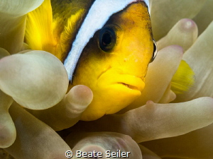 Clownfish by Beate Seiler