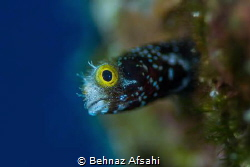 Spinnyhead blenny is a tiny little blenny and a challengi... by Behnaz Afsahi