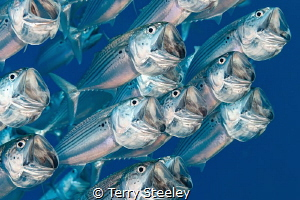 Schooling mackerel on the house reef of Marsa Shagra. by Terry Steeley