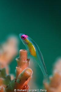 Pink-eye goby by Richard (qingran) Meng