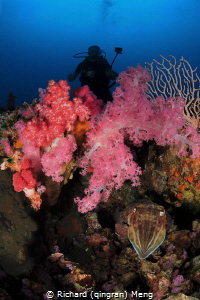 A diver peaking over beautiful soft coral without knowing... by Richard (qingran) Meng