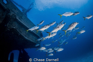 """""""Silver School"""" A School of Horse Eyed Jacks doing their... by Chase Darnell"""