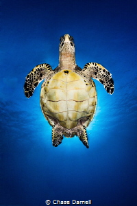 """""""Turtle Angel"""" A Hawksbill Turtle is backlit by the sun ... by Chase Darnell"""