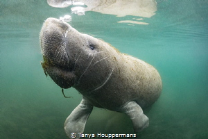 Blowing Bubbles A manatee surfaces for a breath in Cryst... by Tanya Houppermans