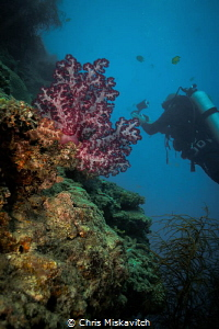 Soft Coral with diver ..... by Chris Miskavitch