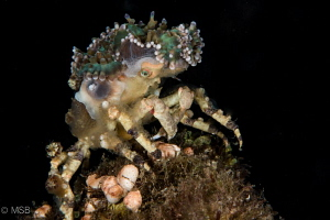 Decorator crab. by Mehmet Salih Bilal