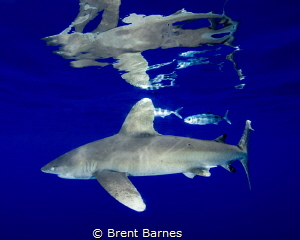 An oceanic white tip shark with pilot fish and vivid surf... by Brent Barnes