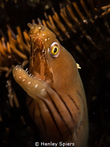Chestnut Moray Eel by Henley Spiers