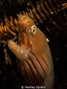 Chestnut Moray Eel by Henley Spiers