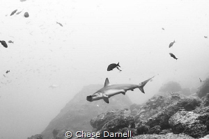 """""""Just Passing By"""" A Hammerhead keeps its distance as it ... by Chase Darnell"""