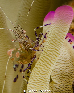 A spotted cleaner shrimp on a pink tipped anemone in Curacao by Brent Barnes