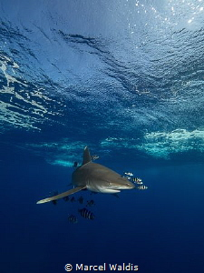 Oceanic White Tip Shark at Elphinstone by Marcel Waldis