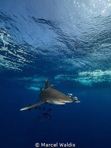 Oceanic White Tip Shark at Elphinstone by Marcel Waldis