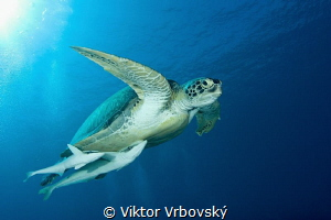 Green Sea Turtle (Chelonia mydas) and her fanclub (Remora... by Viktor Vrbovský