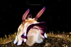 Goniobranchus hintuanensis by Wayne Jones