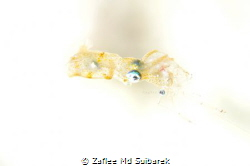 Pygmy Squid having dinner by Zaflee Md Suibarek