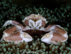 Porcelain crab with eggs. by Hon Ping