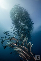 School of barracudas. Sipadan. by Tommi Kokkola