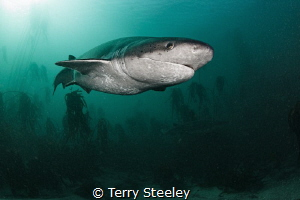 Wonderfully prehistoric, the Broadnose Sevengill Shark is... by Terry Steeley