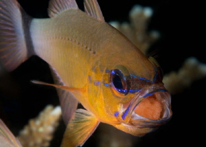Cardinal fish are believed to eat around 30% of their own... by James Deverich