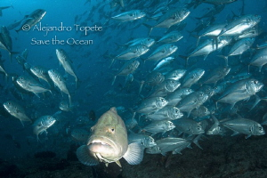 great Grouper with Jacks, Cabo Pulmo Mexico by Alejandro Topete