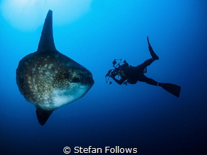 Epic ... ! Southern Ocean Sunfish - Mola ramsayi. Mimpang... by Stefan Follows