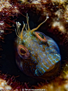 Muppet I love photographing these little blennies! Their... by Tanya Houppermans