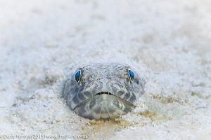 """""""Beach Day"""" A Sand Diver buried in the sand. by Dusty Norman"""