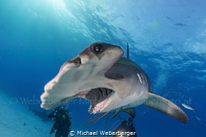 the great hammerhead is one of the most elegant swimmers by Michael Weberberger