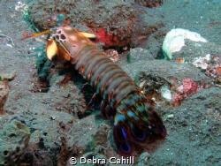 Peacock Mantis Shrimp Talamben Bali by Debra Cahill