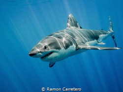 Great White Shark at Guadalupe Island by Ramon Carretero