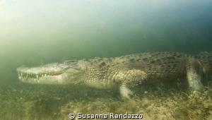 get close to American crocodile by Susanna Randazzo