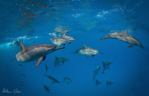 Pod of Spinner Dolphins by Steven Miller
