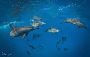 Pod of Spinner Dolphins by Steven Miller