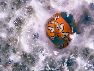 """Perfect Fit""  Gaudy Clown Crabs seem to like Grand Cayma... by Robin Bateman"