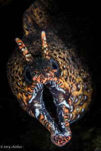 Dragon Moray, Kauai, HI by Tony Cherbas