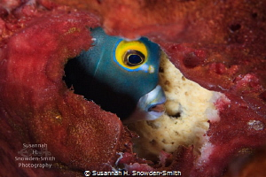 A French Angelfish is framed by a red sponge as it pushes... by Susannah H. Snowden-Smith